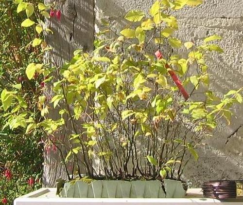 http://www.espritsdegoshin.fr/components/com_agora/img/members/1259_ostrya_carpinifolia_21_sept_05_112.jpg