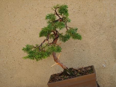 http://www.espritsdegoshin.fr/components/com_agora/img/members/14731_juniperus_sin_345.jpg