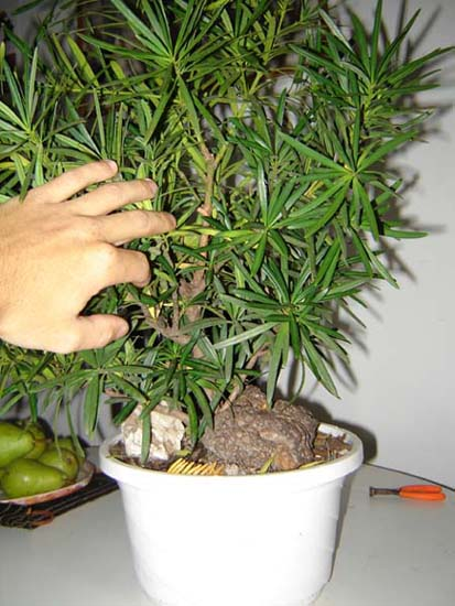 http://www.espritsdegoshin.fr/components/com_agora/img/members/15297_ao_t2006_podo_mrcotte_006_298.jpg