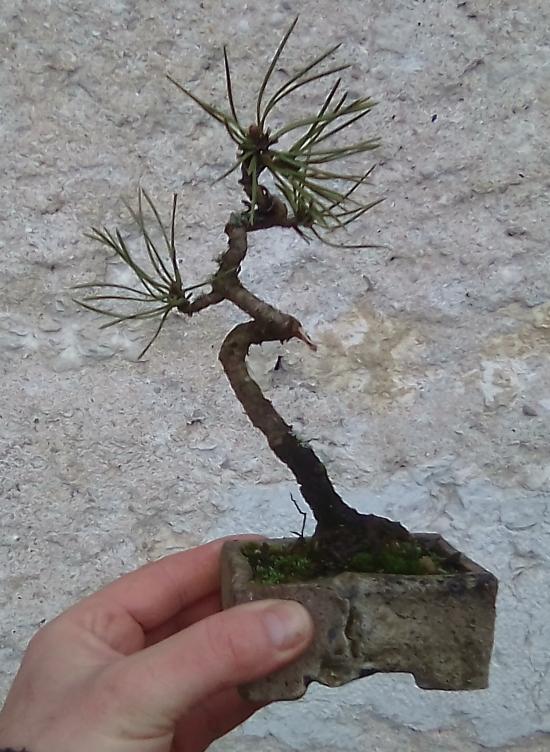 http://www.espritsdegoshin.fr/components/com_agora/img/members/1567/mini_Pinus-sylvestris.jpg