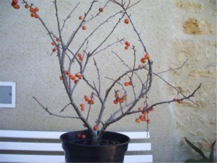 http://www.espritsdegoshin.fr/components/com_agora/img/members/1707_malus_cultivar_2005_148.jpg