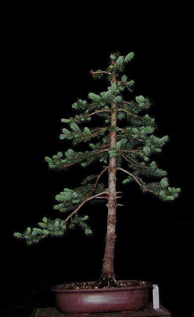 (The problem with) Colorado blue spruce... - Page 2 Mini_piceapg-110427