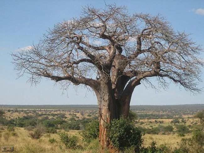 http://www.espritsdegoshin.fr/components/com_agora/img/members/1856/baobab.jpg