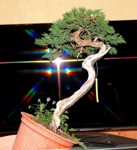 http://www.espritsdegoshin.fr/components/com_agora/img/members/2032/juniperus-rastrera-2012-04-01-002.jpg