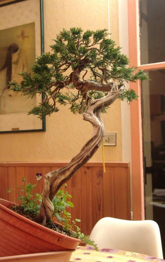http://www.espritsdegoshin.fr/components/com_agora/img/members/2032/juniperus-rastrera-2012-10-27-001.jpg