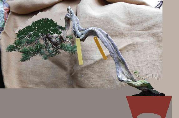 http://www.espritsdegoshin.fr/components/com_agora/img/members/2032/juniperus-rastrera-2013-02-14.jpg