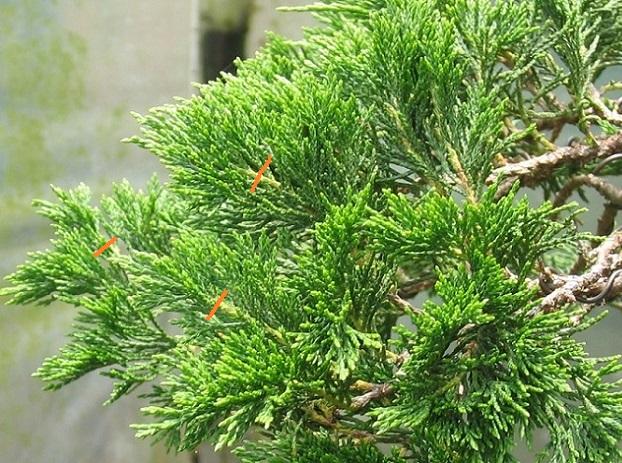 http://www.espritsdegoshin.fr/components/com_agora/img/members/2032/juniperus-rastrera-2013-07-08-002.JPG