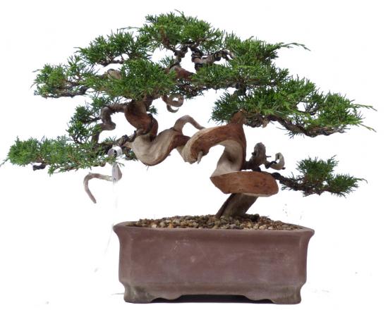 http://www.espritsdegoshin.fr/components/com_agora/img/members/2032/mini_----------------------------N038-s-1-juniperus-chinensis-itoigawa-0108-bonsai.jpg
