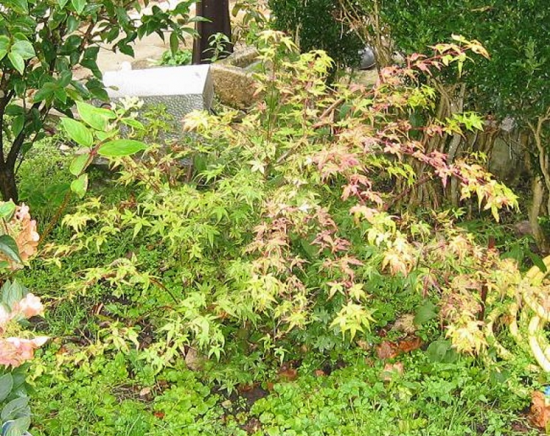 http://www.espritsdegoshin.fr/components/com_agora/img/members/2032/mini_-----acer-palmatum-beni-tsukasa-2010-10-23-001.jpg