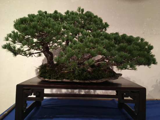 http://www.espritsdegoshin.fr/components/com_agora/img/members/2032/mini_Kiryu-Bonsai-Association-04.JPG