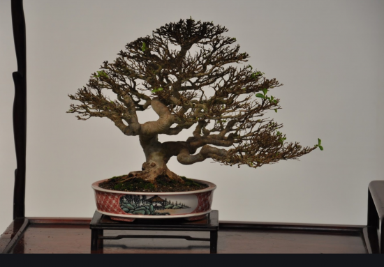 http://www.espritsdegoshin.fr/components/com_agora/img/members/2032/mini_arbre-Taiwan01.jpg