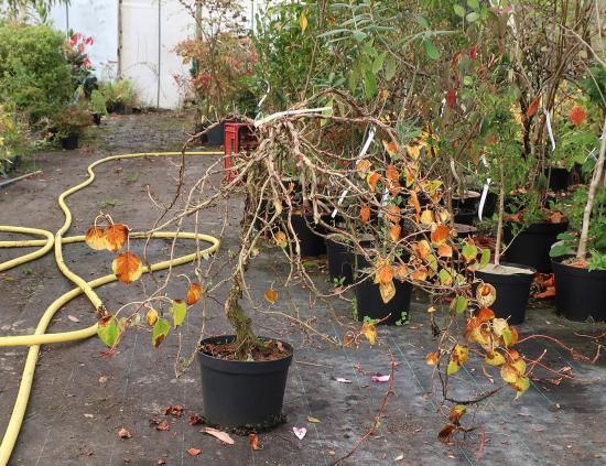 http://www.espritsdegoshin.fr/components/com_agora/img/members/2032/mini_hydrangea-petiolaris-cordifolia-2019-10-16-001.JPG