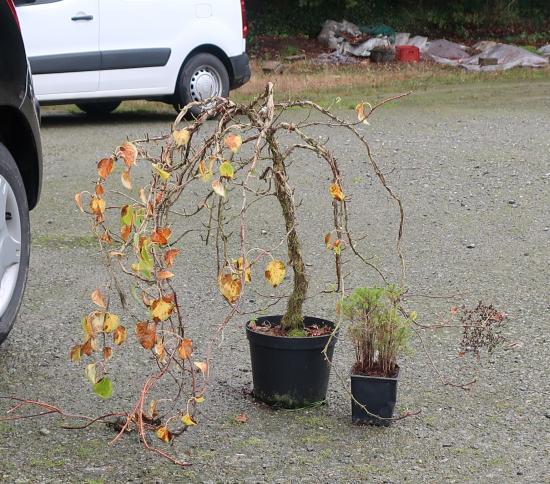 http://www.espritsdegoshin.fr/components/com_agora/img/members/2032/mini_hydrangea-petiolaris-cordifolia-2019-10-16-004.JPG