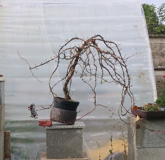 http://www.espritsdegoshin.fr/components/com_agora/img/members/2032/mini_hydrangea-petiolaris-cordifolia-2019-10-24-007face.JPG