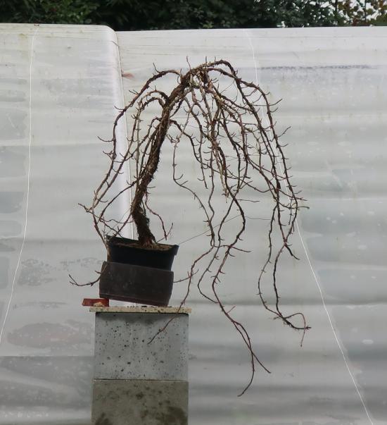 http://www.espritsdegoshin.fr/components/com_agora/img/members/2032/mini_hydrangea-petiolaris-cordifolia-2019-11-06-002.JPG