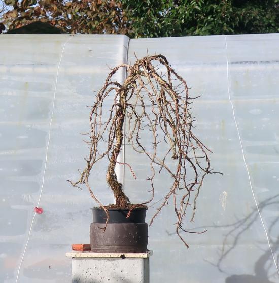 http://www.espritsdegoshin.fr/components/com_agora/img/members/2032/mini_hydrangea-petiolaris-cordifolia-2019-11-07-002.JPG