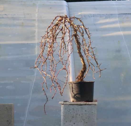 http://www.espritsdegoshin.fr/components/com_agora/img/members/2032/mini_hydrangea-petiolaris-cordifolia-2019-11-14-007.JPG