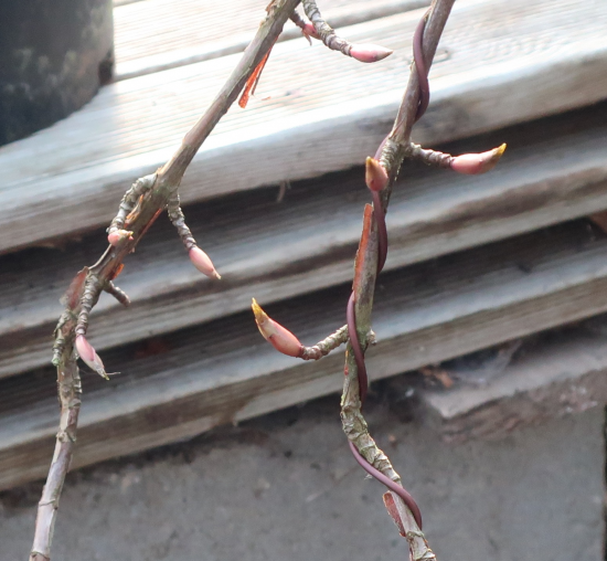 http://www.espritsdegoshin.fr/components/com_agora/img/members/2032/mini_hydrangea-petiolaris-cordifolia-2020-02-18-002.JPG
