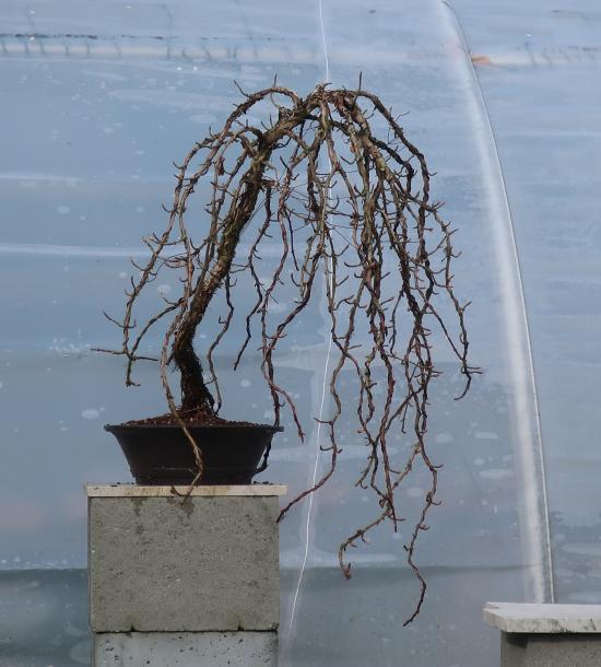 http://www.espritsdegoshin.fr/components/com_agora/img/members/2032/mini_hydrangea-petiolaris-cordifolia-2020-02-18-007.JPG