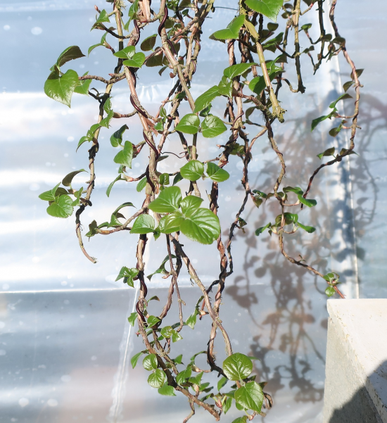 http://www.espritsdegoshin.fr/components/com_agora/img/members/2032/mini_hydrangea-petiolaris-cordifolia-2020-03-12-001.JPG