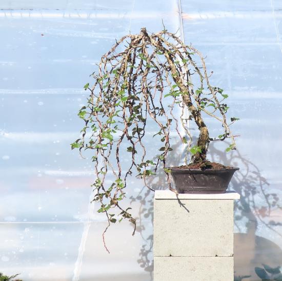 http://www.espritsdegoshin.fr/components/com_agora/img/members/2032/mini_hydrangea-petiolaris-cordifolia-2020-03-12-002.JPG