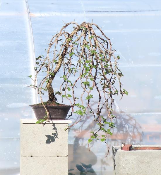 http://www.espritsdegoshin.fr/components/com_agora/img/members/2032/mini_hydrangea-petiolaris-cordifolia-2020-03-12-003.JPG