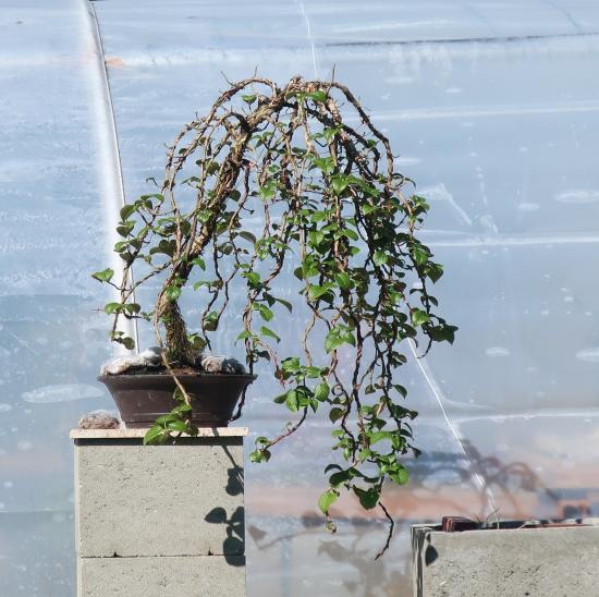 http://www.espritsdegoshin.fr/components/com_agora/img/members/2032/mini_hydrangea-petiolaris-cordifolia-2020-03-24-001.JPG