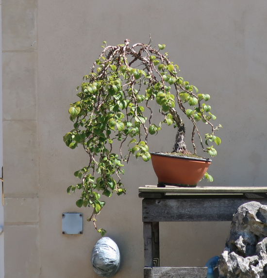 http://www.espritsdegoshin.fr/components/com_agora/img/members/2032/mini_hydrangea-petiolaris-cordifolia-2020-07-21-001.JPG