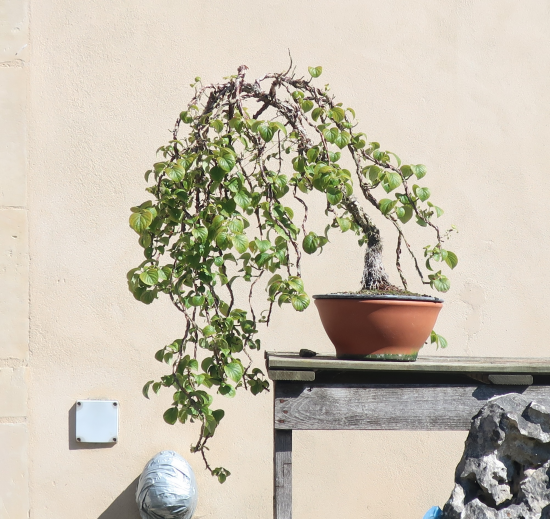 http://www.espritsdegoshin.fr/components/com_agora/img/members/2032/mini_hydrangea-petiolaris-cordifolia-2020-07-21-004.JPG