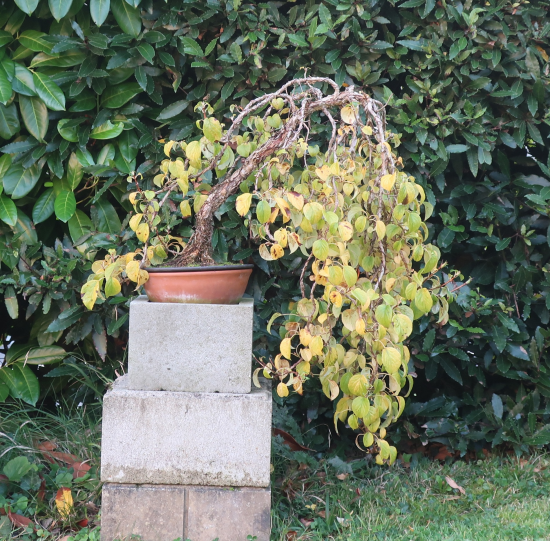 http://www.espritsdegoshin.fr/components/com_agora/img/members/2032/mini_hydrangea-petiolaris-cordifolia-2021-10-19.JPG