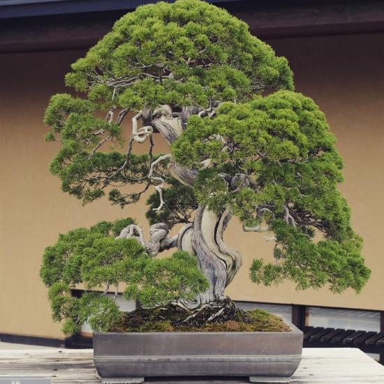 http://www.espritsdegoshin.fr/components/com_agora/img/members/2032/mini_juniperus-chinensis02-omiya-museum.jpg
