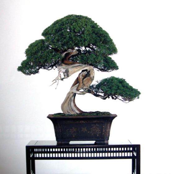 http://www.espritsdegoshin.fr/components/com_agora/img/members/2032/mini_juniperus-chinensis12-kokufu79-2005.jpg