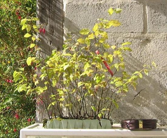 http://www.espritsdegoshin.fr/components/com_agora/img/members/2032/mini_ostrya-carpinifolia-2005-09-21-001.jpg