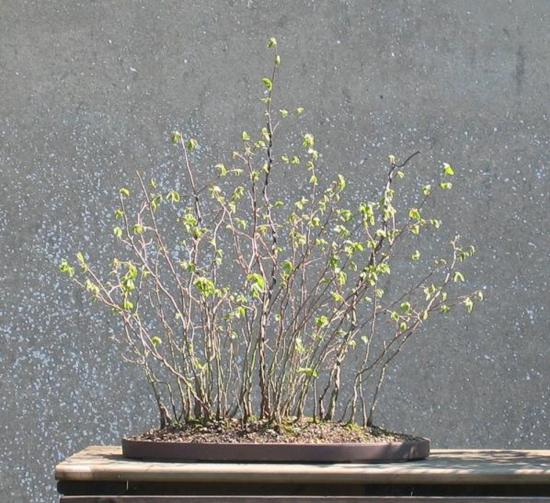 http://www.espritsdegoshin.fr/components/com_agora/img/members/2032/mini_ostrya-carpinifolia-2006-04-06-001.jpg