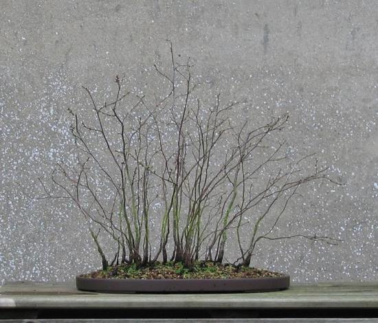 http://www.espritsdegoshin.fr/components/com_agora/img/members/2032/mini_ostrya-carpinifolia-2007-02-27-001.jpg