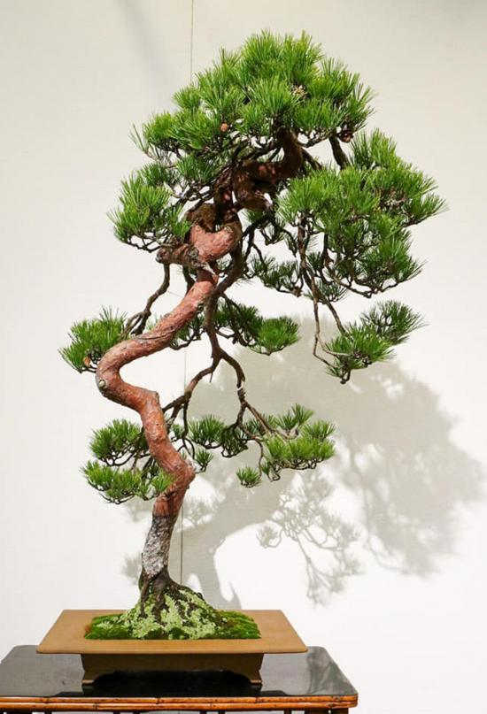 http://www.espritsdegoshin.fr/components/com_agora/img/members/2032/mini_pinus-densiflora-kokufu2021.jpg