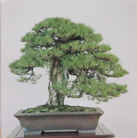 http://www.espritsdegoshin.fr/components/com_agora/img/members/2032/mini_pinus-densiflora2.JPG
