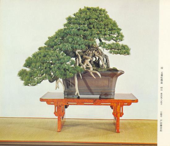 http://www.espritsdegoshin.fr/components/com_agora/img/members/2032/mini_pinus-pentaphylla-jins-Kokufu48-1974.jpg