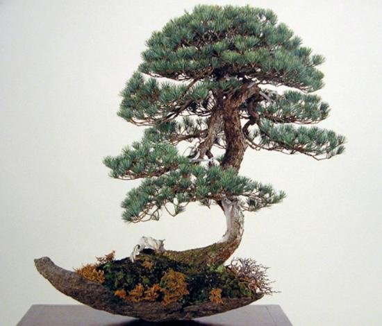 http://www.espritsdegoshin.fr/components/com_agora/img/members/2032/mini_pinus-pentaphylla-kokufu74-2000.jpg