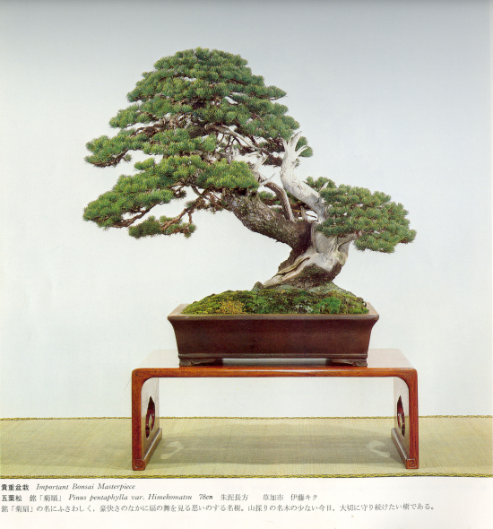 http://www.espritsdegoshin.fr/components/com_agora/img/members/2032/mini_pinus-pentaphylla01-kokufu57-1983.jpg