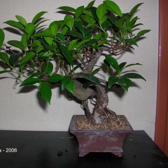 http://www.espritsdegoshin.fr/components/com_agora/img/members/2034/mini_200604---Ficus-Retusa---Dragon---Printemps---01.jpg
