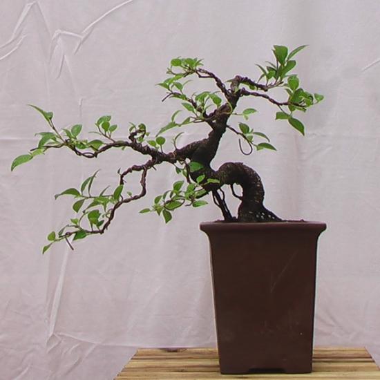 http://www.espritsdegoshin.fr/components/com_agora/img/members/2034/mini_200608---Ficus-Retusa---Dragon---Aout---01.jpg