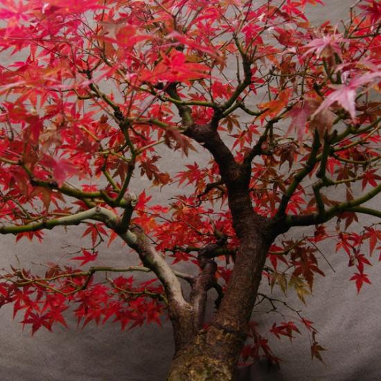 http://www.espritsdegoshin.fr/components/com_agora/img/members/2034/mini_AcPym02---Acer-palmatum-yama-momiji-Bonsai---00b.jpg