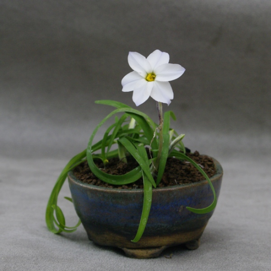 http://www.espritsdegoshin.fr/components/com_agora/img/members/2034/mini_Er26-Ipheion-uniflorum-alba.jpg