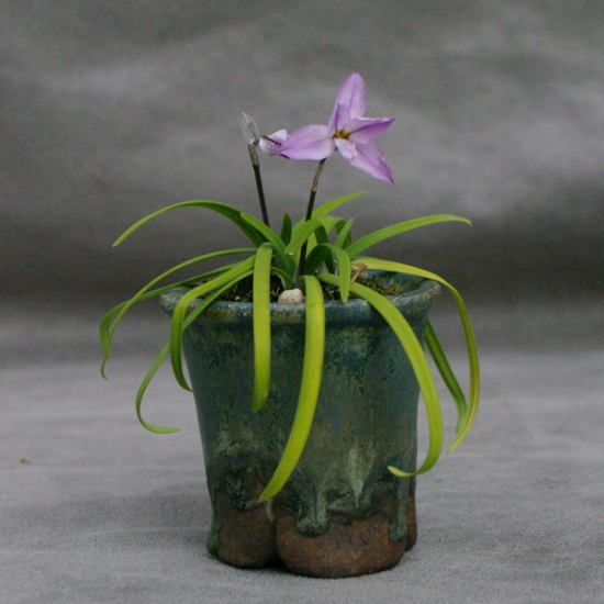 http://www.espritsdegoshin.fr/components/com_agora/img/members/2034/mini_Erin-Pottery-Ipheion-uniflorum-charlotte-bishop7.jpg