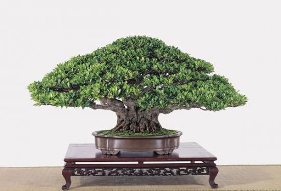 http://www.espritsdegoshin.fr/components/com_agora/img/members/2034/mini_Ficus-microcarpa-Cheng-Wen-Jen-62cm.jpg