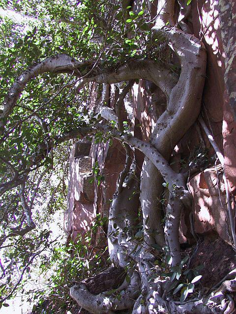 http://www.espritsdegoshin.fr/components/com_agora/img/members/2034/mini_Ficus-rubiginosa-03-Port-Jackson-fig.jpg