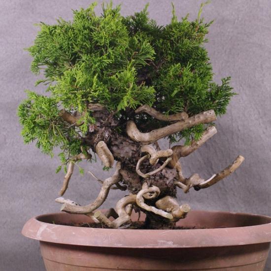 http://www.espritsdegoshin.fr/components/com_agora/img/members/2034/mini_JcIto04---Juniperus-chinensis-itoigawa-Bonsai-Japon-03.jpg