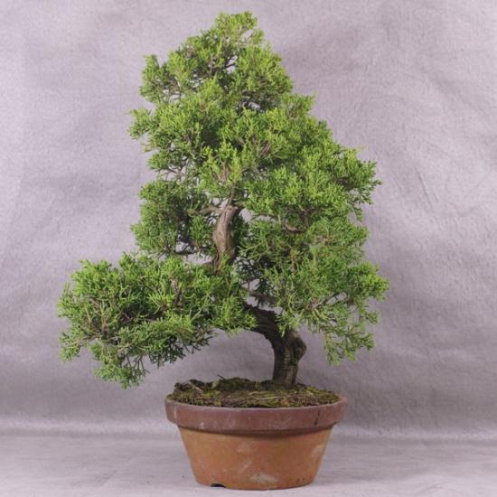 http://www.espritsdegoshin.fr/components/com_agora/img/members/2034/mini_JcIto05---Juniperus-chinensis-itoigawa-Bonsai-Japon-01.jpg