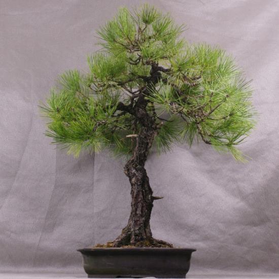 http://www.espritsdegoshin.fr/components/com_agora/img/members/2034/mini_PtB03---Pinus-thunbergii-Bonsai-Japon-01.jpg